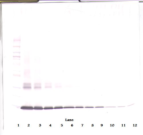 Western Blot (non-reducing) of GM-CSF antibody LS-C104671.  This image was taken for the unconjugated form of this product. Other forms have not been tested.