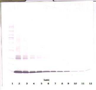Western Blot (non-reducing) of GM-CSF antibody. This image was taken for the unconjugated form of this product. Other forms have not been tested.
