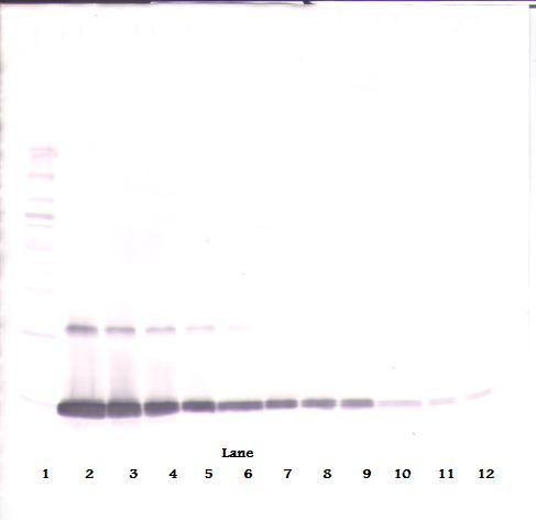 Western Blot (reducing) of GM-CSF antibody LS-C104671.  This image was taken for the unconjugated form of this product. Other forms have not been tested.