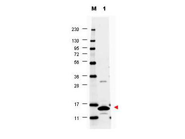 Anti-Mouse GM-CSF Antibody - Western Blot. Western blot of anti-Mouse GM-CSF antibody shows detection of a band ~14 kD in size corresponding to recombinant mouse GM-CSF (lane 1). Molecular weight markers are also shown (M). After transfer, the membrane was blocked overnight with 3% BSA in TBS followed by reaction with primary antibody at a 1:1000 dilution. Detection occurred using DyLight649 conjugated anti-Rabbit IgG ( secondary antibody diluted 1:20000 in blocking buffer (p/n MB-070). Image was captured using VersaDoc MP 4000 imaging system (Bio-Rad).