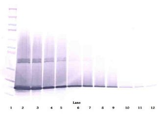 Western Blot (non-reducing) of CSF3 / G-CSF antibody LS-C104779.  This image was taken for the unconjugated form of this product. Other forms have not been tested.