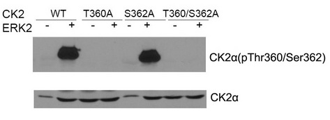 Western blot of CK2a (Phospho- Thr360/Ser362) antibody (#11572) and CK2a antibody (#21572) in vitro kinase assay. Both purified ERK2 and CK2 were used. CK2a (Phospho-Thr360/Ser362) antibody could recognize ERK2 phosphorylated wild type CK2a and CK2a when Ser362 was mutated to alanine .