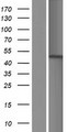 CSNK2A1 Protein - Western validation with an anti-DDK antibody * L: Control HEK293 lysate R: Over-expression lysate