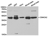 Western blot of extracts of various cell lines, using CSNK2A2 antibody.