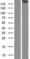 CSPG4 / NG2 Protein - Western validation with an anti-DDK antibody * L: Control HEK293 lysate R: Over-expression lysate