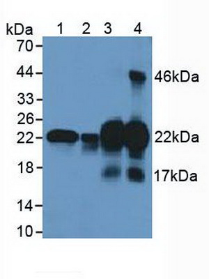 Western Blot; Sample: Lane1: Human Lung Tissue; Lane2: Human Hela Cells; Lane3: Mouse Uterus Tissue; Lane4: Mouse Bladder Tissue.