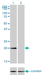 Western blot analysis of CSRP3 over-expressed 293 cell line, cotransfected with CSRP3 Validated Chimera RNAi (Lane 2) or non-transfected control (Lane 1). Blot probed with CSRP3 monoclonal antibody (M03), clone 6D2 . GAPDH ( 36.1 kDa ) used as specificity and loading control.