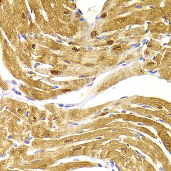 Immunohistochemistry of paraffin-embedded Mouse heart.