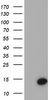 CST4 / Cystatin S Antibody - HEK293T cells were transfected with the pCMV6-ENTRY control. (Left lane) or pCMV6-ENTRY CST4. (Right lane) cDNA for 48 hrs and lysed
