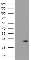 CST4 / Cystatin S Antibody - HEK293T cells were transfected with the pCMV6-ENTRY control (Left lane) or pCMV6-ENTRY CST4 (Right lane) cDNA for 48 hrs and lysed. Equivalent amounts of cell lysates (5 ug per lane) were separated by SDS-PAGE and immunoblotted with anti-CST4.