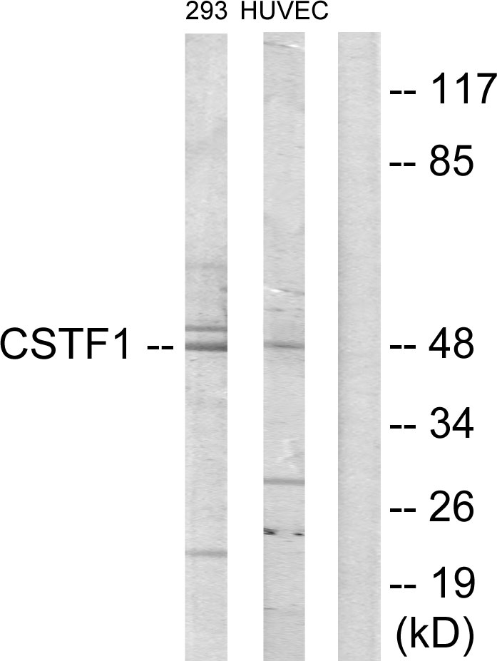 Western blot analysis of lysates from HUVEC and 293 cells, using CSTF1 Antibody. The lane on the right is blocked with the synthesized peptide.