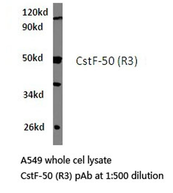 Western blot of CstF-50 (R3) pAb in extracts from A549 cells.
