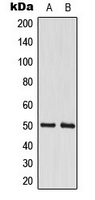 Western blot analysis of CstF-50 expression in A549 (A); MCF7 (B) whole cell lysates.