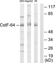 Western blot analysis of lysates from 293, K562, and Jurkat cells, using CSTF2 Antibody. The lane on the right is blocked with the synthesized peptide.