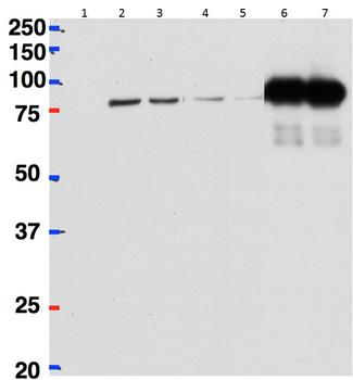 CSTF2 antibody HeLa lysate either in RIPA buffer (lanes 1, 2, 4, 6) or TX100 buffer (lanes 3, 5, 7) overexpressing Mouse [Character df]Cstf-64 (DYKDDDDK tagged) immunoprecipitated using (2 ug) with Protein G-coated magnetic beads in lanes 6 and 7 and probed with anti-DYKDDDDK (1/1000). Mock-transfected HeLa in Lane 1. A 1/40th part of the lysate was loaded in lanes 2 and 3 before IP and in lanes 4 an 5 after IP. Primary incubations were for 1 hour. Detected by chemiluminescence. Data obtained from Dr P Grozdanov, Texas Tech University Health Sciences Center, USA.