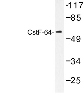 Western blot of CstF-64 (R46) pAb in extracts from 293 cells.