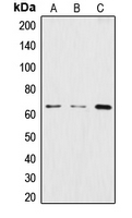 Western blot analysis of CstF-64 expression in HeLa (A); BJAB (B); THP1 (C) whole cell lysates.