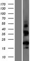 CT62 Protein - Western validation with an anti-DDK antibody * L: Control HEK293 lysate R: Over-expression lysate