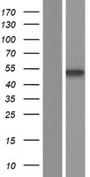 CTBP2 Protein - Western validation with an anti-DDK antibody * L: Control HEK293 lysate R: Over-expression lysate
