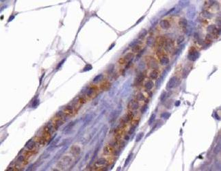 CTG-B45d / THAP11 Antibody - THAP11 Antibody - IHC of THAP11 in mouse skin.