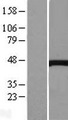 CTH / Cystathionase Protein - Western validation with an anti-DDK antibody * L: Control HEK293 lysate R: Over-expression lysate