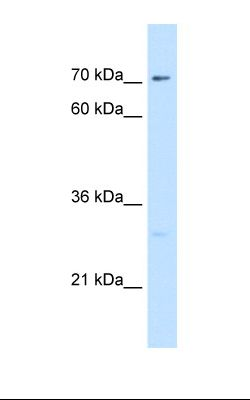 721_B cell lysate. Antibody concentration: 5.0 ug/ml. Gel concentration: 12%.  This image was taken for the unconjugated form of this product. Other forms have not been tested.