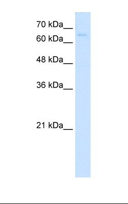 HepG2 cell lysate. Antibody concentration: 5.0 ug/ml. Gel concentration: 12%.  This image was taken for the unconjugated form of this product. Other forms have not been tested.