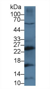 Western Blot; Sample: Human MCF7 cell lysate; Primary Ab: 3µg/ml Rabbit Anti-Mouse CTSG Antibody Second Ab: 0.2µg/mL HRP-Linked Caprine Anti-Rabbit IgG Polyclonal Antibody