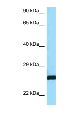 CTSH / Cathepsin H antibody Western blot of A549 Cell lysate. Antibody concentration 1 ug/ml.  This image was taken for the unconjugated form of this product. Other forms have not been tested.
