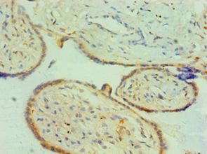 Immunohistochemistry of paraffin-embedded human placenta tissue using antibody at 1:100 dilution.
