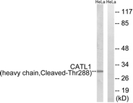 Western blot of extracts from HeLa cells, treated with etoposide 25 uM 1h, using CATL1 (heavy chain, Cleaved-Thr288) Antibody. The lane on the right is treated with the synthesized peptide.