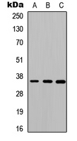 Western blot analysis of Cathepsin O expression in HEK293T (A); Raw264.7 (B); H9C2 (C) whole cell lysates.