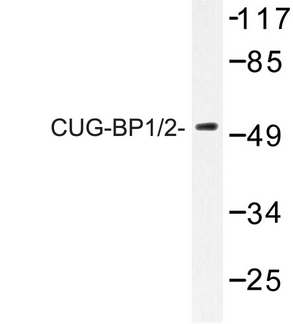 CUGBP1/2 Antibody - Western blot of CUG-BP1/2 (K95) pAb in extracts from HeLa cells.