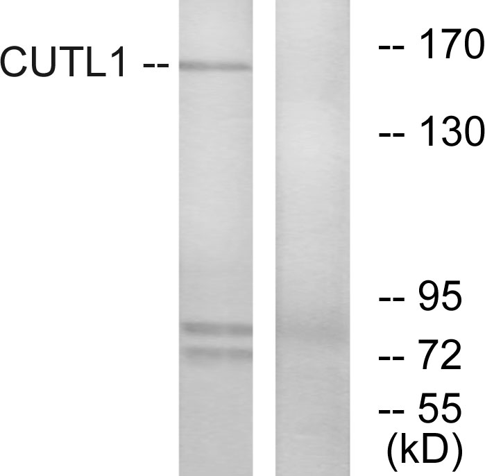 Western blot analysis of lysates from K562 cells, using CUTL1 Antibody. The lane on the right is blocked with the synthesized peptide.