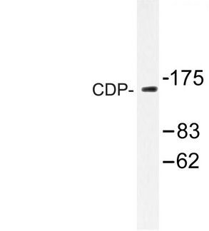 Western blot of CDP (Q24) pAb in extracts from K562 cells.
