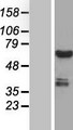CWF19L1 Protein - Western validation with an anti-DDK antibody * L: Control HEK293 lysate R: Over-expression lysate