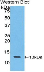 Western blot of recombinant IP-10 / CXCL10.  This image was taken for the unconjugated form of this product. Other forms have not been tested.