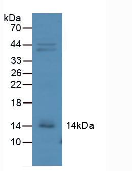 Western Blot; Sample: Mouse Kidney Tissue.