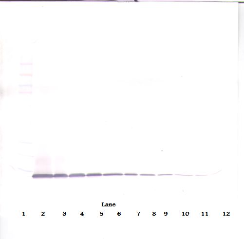 Western Blot (non-reducing) of IP-10 / CXCL10 antibody LS-C104402.  This image was taken for the unconjugated form of this product. Other forms have not been tested.