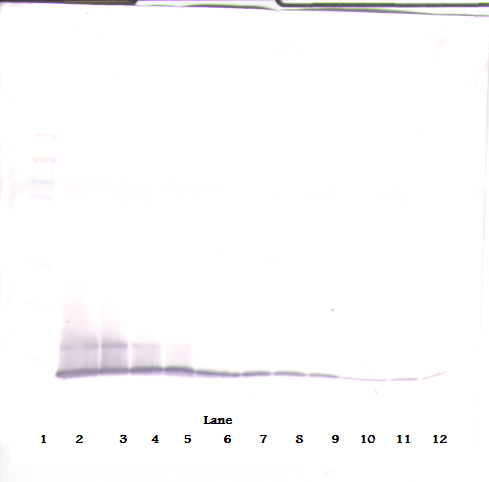 Anti-Murine IP-10 (CXCL10) Western Blot Reduced