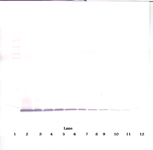 Anti-Murine IP-10 (CXCL10) Western Blot Unreduced