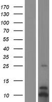 CXCL3 / GRO Gamma Protein - Western validation with an anti-DDK antibody * L: Control HEK293 lysate R: Over-expression lysate