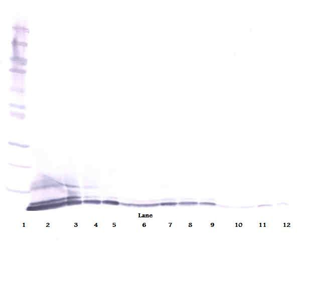 Western Blot (reducing) of CXCL5 antibody LS-C104648.  This image was taken for the unconjugated form of this product. Other forms have not been tested.