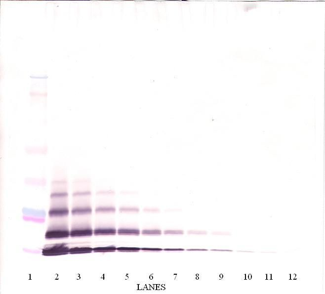 Western Blot (non-reducing) of CXCL5 antibody LS-C104648.  This image was taken for the unconjugated form of this product. Other forms have not been tested.