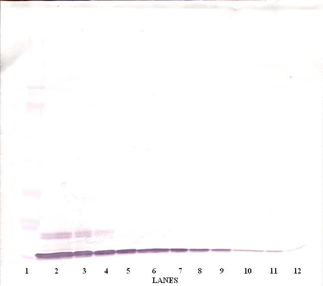 Western Blot (non-reducing) of CXCL6 antibody LS-C104344.  This image was taken for the unconjugated form of this product. Other forms have not been tested.