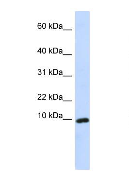 CXCL9 antibody Western blot of Fetal Liver lysate. Antibody concentration 1 ug/ml. This image was taken for the unconjugated form of this product. Other forms have not been tested.
