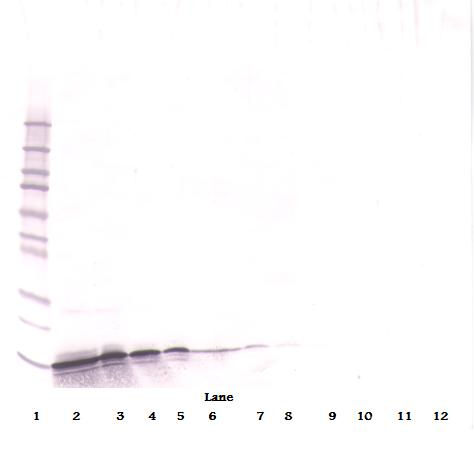 Anti-Human MIG (CXCL9) Western Blot Reduced