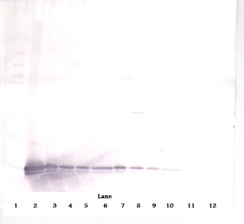 Western Blot (non-reducing) of MIG / CXCL9 antibody. This image was taken for the unconjugated form of this product. Other forms have not been tested.