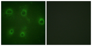 Immunofluorescence analysis of COS7 cells, using IL-8R beta/CDw128 beta (Phospho-Ser347) Antibody. The picture on the right is blocked with the phospho peptide.