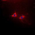 Immunofluorescent analysis of CD182 (pS347) staining in HeLa cells. Formalin-fixed cells were permeabilized with 0.1% Triton X-100 in TBS for 5-10 minutes and blocked with 3% BSA-PBS for 30 minutes at room temperature. Cells were probed with the primary antibody in 3% BSA-PBS and incubated overnight at 4 ??C in a humidified chamber. Cells were washed with PBST and incubated with a DyLight 594-conjugated secondary antibody (red) in PBS at room temperature in the dark. DAPI was used to stain the cell nuclei (blue).